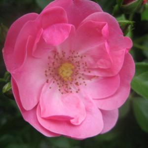 今年のバラは、よく咲きました。