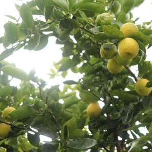 レモンを調べてみる②=レモンの魅力-2=