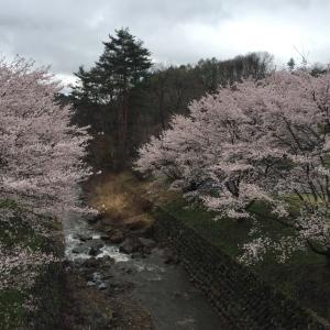桜咲くin嬬恋♪
