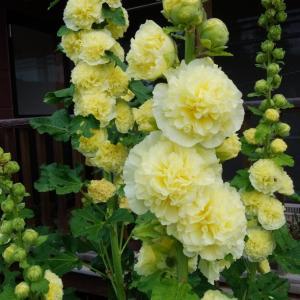 立葵とミニバラとデルフイニウム