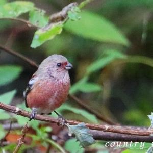 里の冬鳥たち ベニマシコ