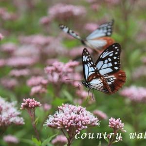 旅する蝶 アサギマダラ