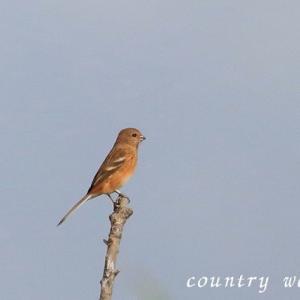 冬鳥飛来(3)ベニマシコ