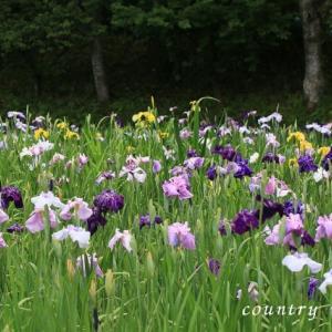 季節の花  花菖蒲