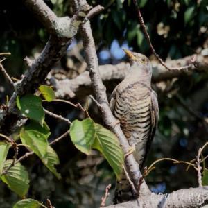 トケン類 カッコウ幼鳥