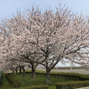 お花見撮り鉄(4/7)