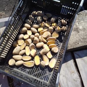 2020春 ジャガイモ3種類植え付け