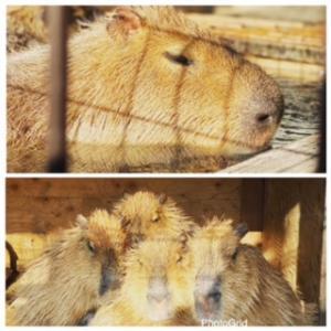 須坂市動物園のカピバラ温泉 ❗️✨ ボランティアのはるかちゃんより