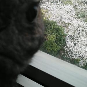 りくちゃんと桜
