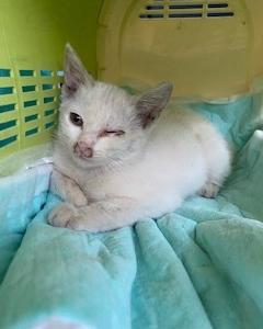 白猫(小雪)保護猫ハウスで預かりました。
