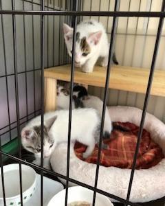今日も子猫4匹預かりました。