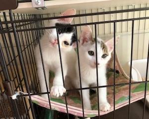お試しに行った2匹娘さんが猫アレルギーで帰ってきました。
