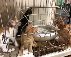 うにママの子猫と従姉妹猫、4匹一緒に譲渡誓約しました
