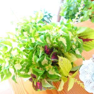 コリウス~さし芽が大成功!切り戻して活けると 涼しげな雰囲気◎…ワンコも暑いね