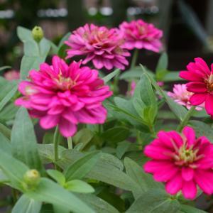 ワクチン接種1回目(モデルナ)その後~花束の10日後~お庭のお花 ジニア ももいろハート