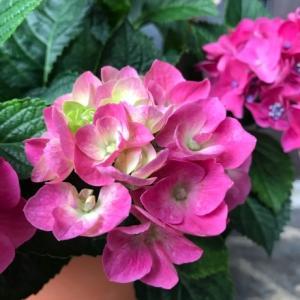 おうちの紫陽花と紫陽花園と。