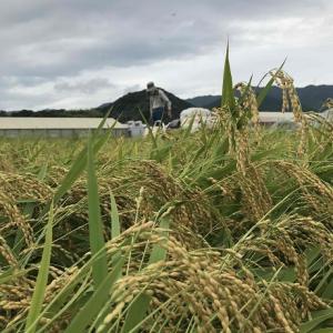 稲刈りにハプニングはつきもの。みかん農家の自家用米作り。