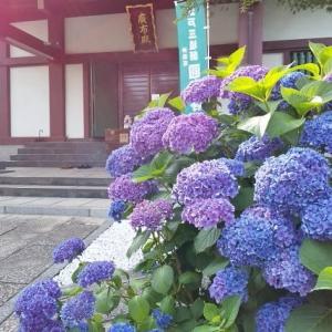 神楽坂・'21紫陽花「圓福寺」