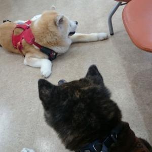 秋田犬3頭連れて病院