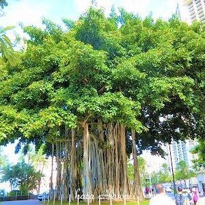 Hawaii☆大きな癒やしの木の下で♡