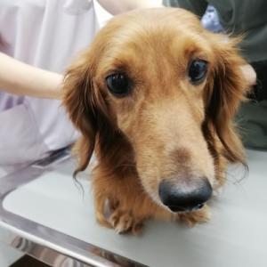 【200626-21】Mダックス♂ 推定6〜7歳 5.9kg 入院中