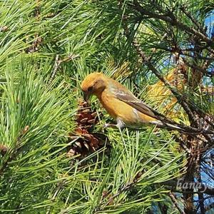 赤松に集まる鳥達