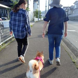 柴犬チャコ 朝散歩2020夏