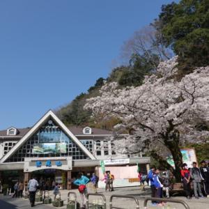 高尾山でのんびりお花見。