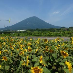 北海道 羊蹄山とひまわり畑