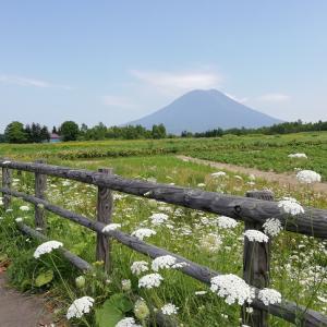 北海道 羊蹄山と花畑