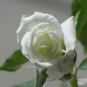 バラの植え替えは成功か、それとも