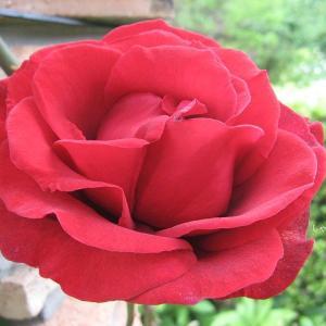 バラと初夏の花
