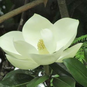 タイサンボクと夏の花