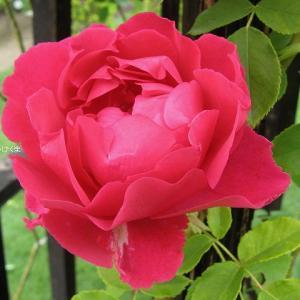 バラと夏の花