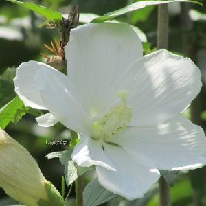 夏の花いろいろ