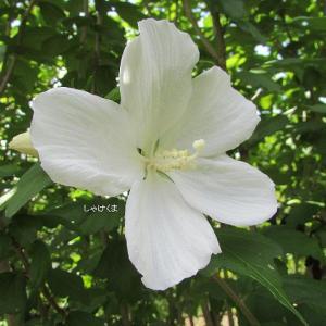 文月の花々