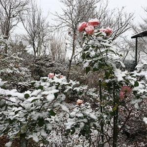 薔薇に積雪