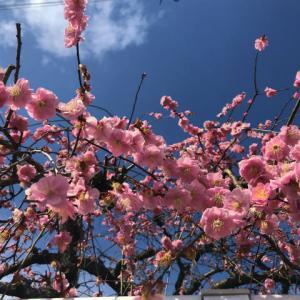 【暮らし】花が咲き出した桃?梅?