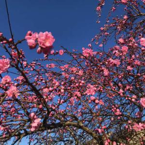 【暮らし】枝垂れ桃が見事だ