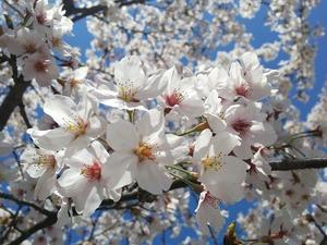 今年の桜…