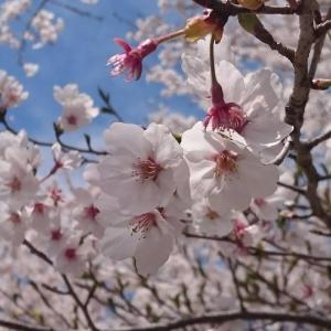 標高700m蔦木宿は桜が満開だった。