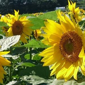 ひまわり畑〜雨が上れば夏景色