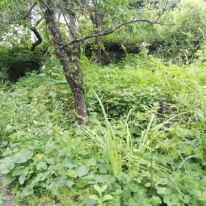 警戒レベル4の中〜セッセセッセと草刈りする。