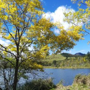 黄金アカシアの白樺湖へ