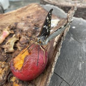 オオムラサキは国蝶で〜キレイで〜♪