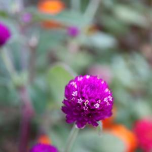 マクロレンズでお花を撮る