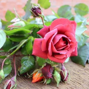 テラコッタのバラ