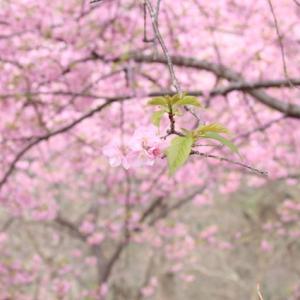 松田町の河津桜4