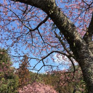河津桜と鳳来山東照宮