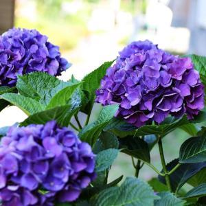 紫陽花の撮影(^_-)-☆